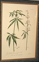 SOLD   Botanical Print of Cannabis